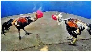 Kelebihan Ayam Birma – Sabung Ayam 2waybet