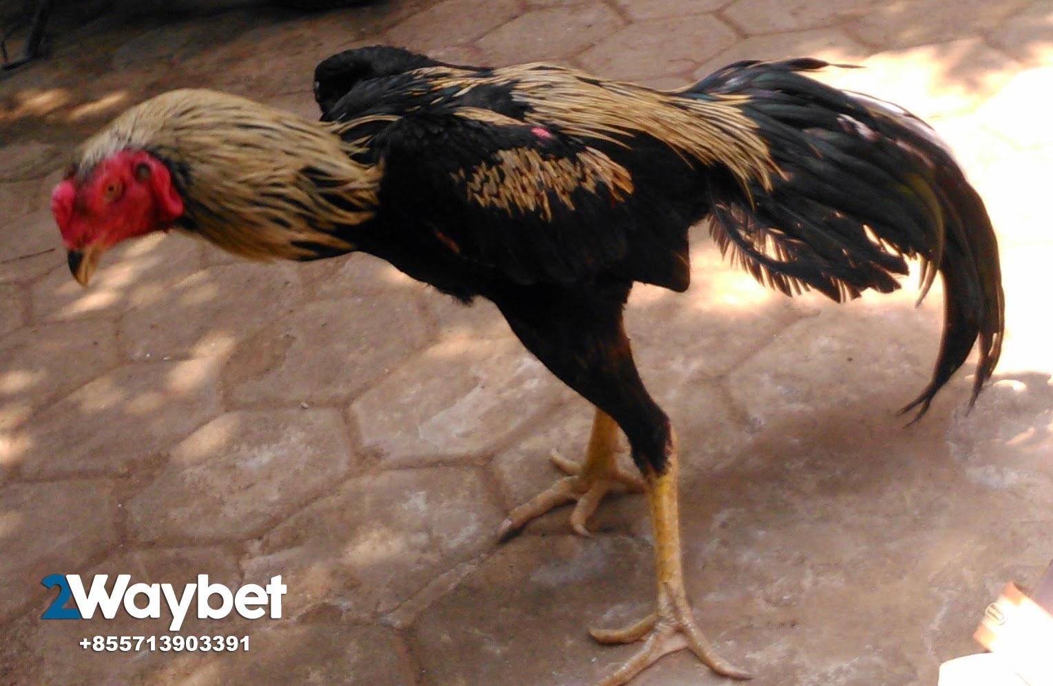 Cara Tepat Memandikan Ayam Tarung – Sabung Ayam 2waybet
