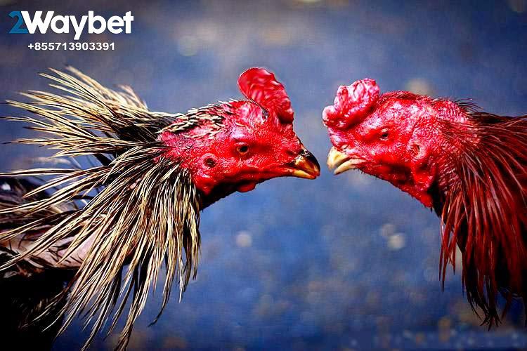Trik Menang Ayam Bangkok Aduan dengan Cara 1